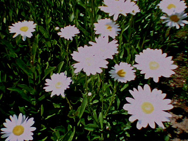 Katie's Daisy Photo